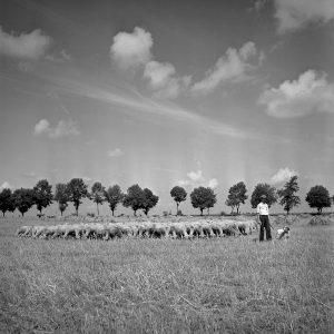 Schafherde bei Grocholin, Foto: Ernst Stewner